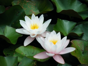 2-fleurs-lotus
