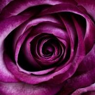 fleur-fleurs-nature-plante-rose-feuilles-revue_121-66809