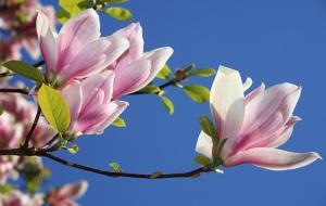 magnolia-fleur